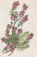 Erica carnea vivellii or Spring Heath