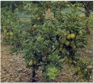 established and healthy 'A' certificate 'Jubilee' gooseberry