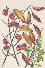 Euonymus Europaeus or European Spindle Tree