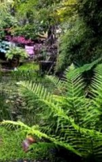 Looking After Established Ferns