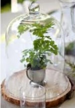 Growing Ferns under Glass