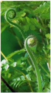 fronds of Microlepia unfurling