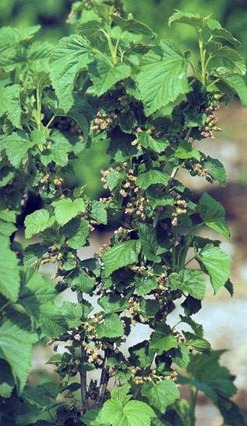given the correct amount of space in between plants, blackcurrants will flourish and produce an excellent crop