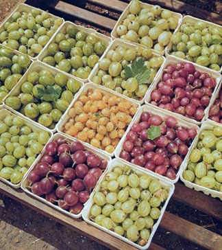 gooseberry varieties - vary in colour, shape and size