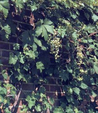 grapevines grown outdoors should be sited against a wall to receive maximum sun and warmth