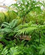 Cultivation of Ferns in the Open