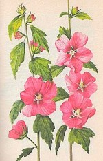 Hibiscus Syriacus 'Rubis or Rose Mallow