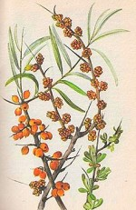Hippophae Rhamnoides or Sea Buckthorn