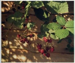 ideal location for growing blackberries is against a sun-dappled fence