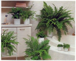 ideal position for growing ferns - high humidity of a bathroom