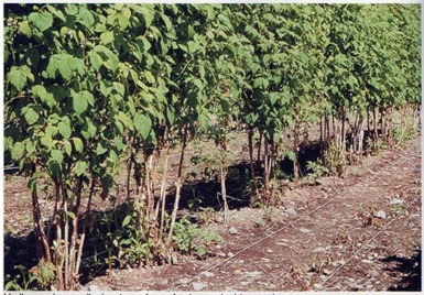 ideally spaced raspberry canes, allowing plenty of room for vigorous, healthy growth