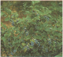 if ideal conditions are provided, blueberries will give you a good yield