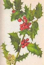 Ilex Aquifolium or English Holly