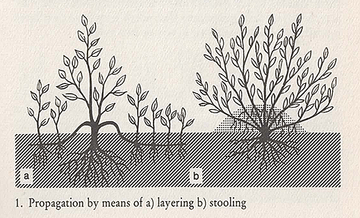 propagation by means of layering and stooling