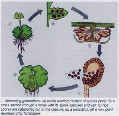 life cycle of an indoor fern