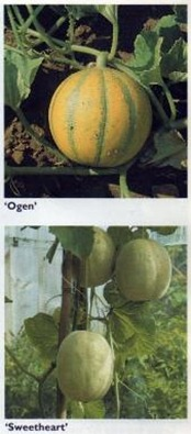 'ogen' and 'sweetheart' melons