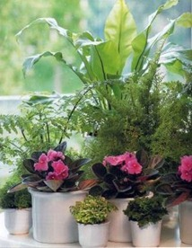 planting ferns in an east facing window