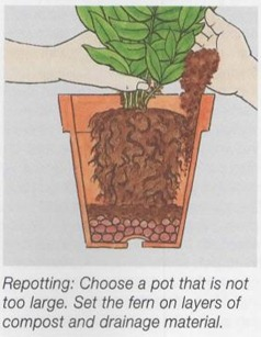 repotting ferns