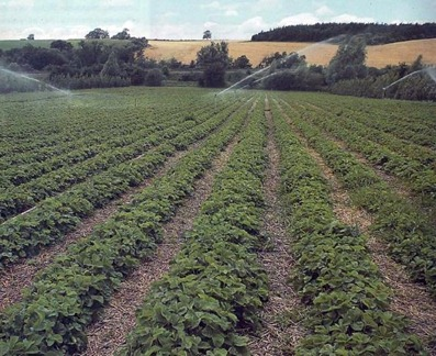 rows of commercially grown strawberries being watered by a sprinkler system