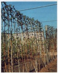 stout post and wire system for supporting raspberry canes