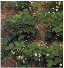 strawberry plants clearly showing stolon runners