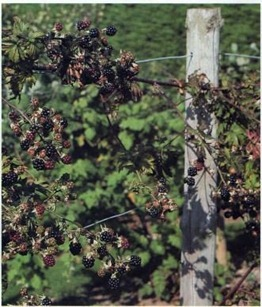 strong wire fed through stout wooden posts ensures support for the blackberry fruit laden branches