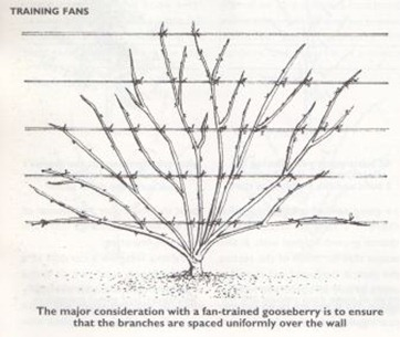 training fan shaped gooseberry bushes