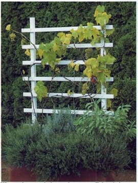 when growing a grapevine in an outdoor container, you are unlikely to obtain a very large crop and it should be viewed as ornamental