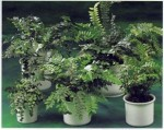 Pellaea button fern