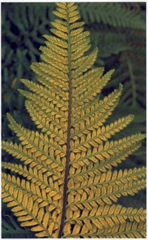 Pityrogramma - undersides of the leaves look like they have been dusted with gold