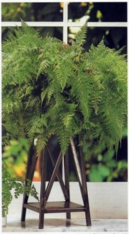 ferns make an attractive feature for any home