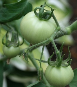 crop schedules for growing tomatoes