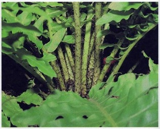 stalks of Blechnum gibbum fern are covered with black scales