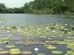 Water Lilies for Your Garden Pond
