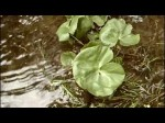 Marginal Plants: Aquatic Plants for the Garden Pond