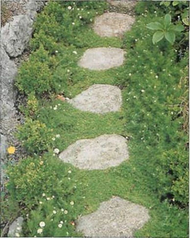 Chamomile is an appealing, fragrant ground cover plant ideal for planting around a feature such as stepping stones