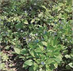 Plants of the genus Omphalodes make excellent ground cover. These spreading perennials prefer a shady spot.