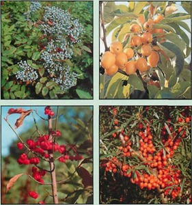 shrubs with berries