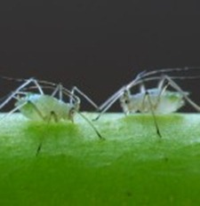 aphids (greenfly)