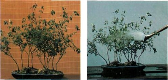 Don't leave your bonsai to a critical stage of dehydration - if yours has reached this stage, abundant watering is necessary