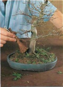 sweep away the leaves after pruning bonsai