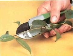 Cuttings should not be longer than about 10 cm (4 in)