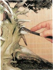 The 'jin' technique is peeling off the bark of a branch, polishing it and bleaching it with acid