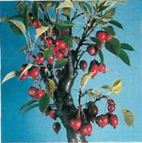 Valued for its attractive white or pink flowers in spring, a crab apple tree produces tiny decorative apples in autumn