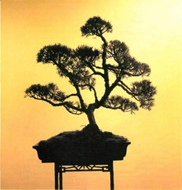 magnificent indoor bonsai tree - 30-year-old Juniperus chinensis (Chinese juniper)