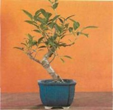 The tropical Ficus is one of the easiest indoor bonsai plants to grow