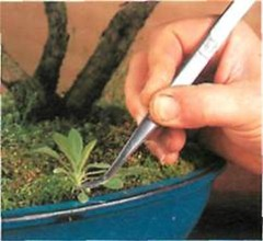 tweezers are useful to remove weeds from bonsai