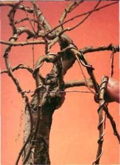 The absence of leaves makes wiring easier. Make sure the wires do not mark the bark.