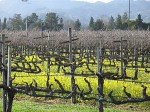 Pruning Vines and Vine Training