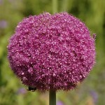 Allium: The Ornamental Onion